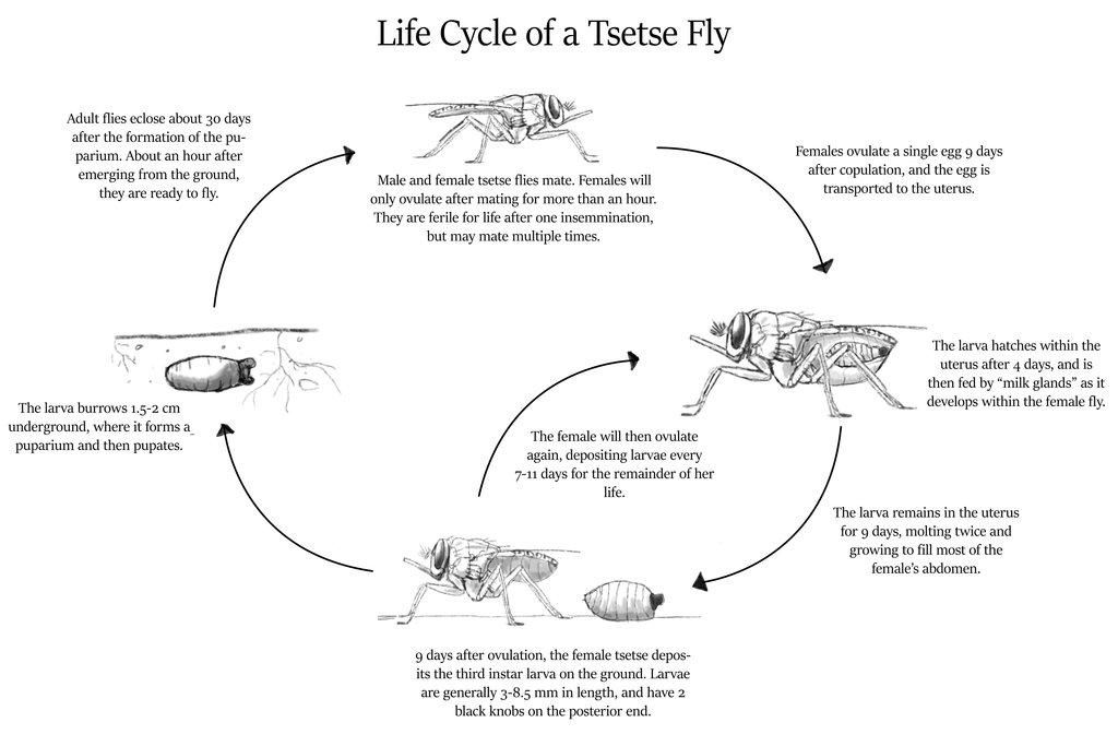 What is the life cycle of tsetse? | TsetseTsetse